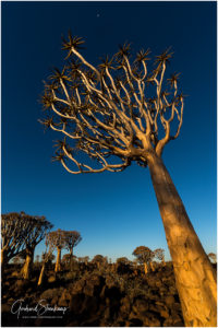 Quiver tree forest - Namibia